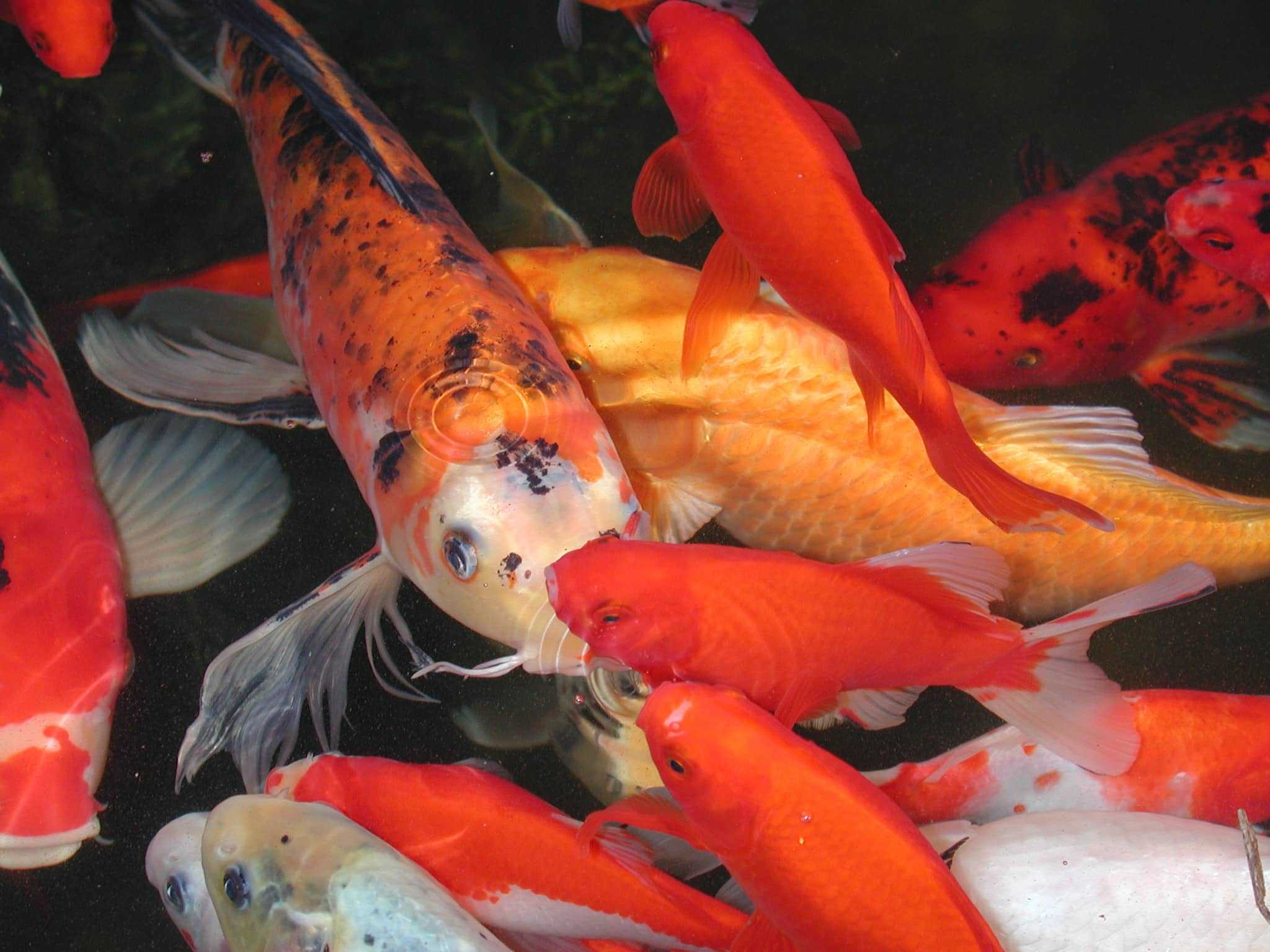 Top 15 reasons to have koi and a koi pond for Koi goldfisch
