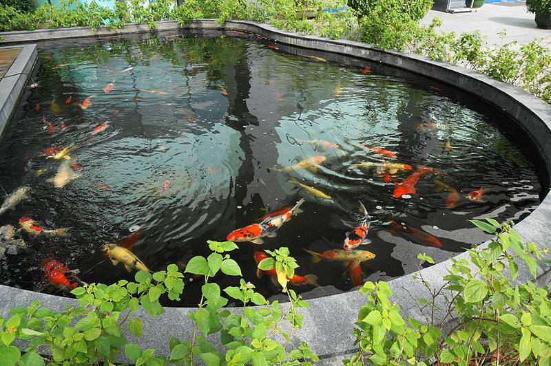 Typical koi pond