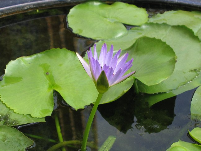 Aquatic plants for your koi pond why they 39 re important for Aquatic pond plants