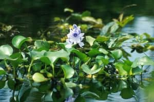 water hyacinth in koi pond