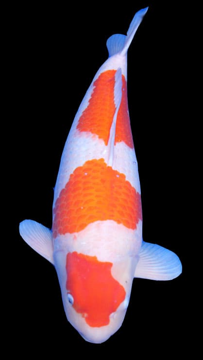 The major koi varieties and their traits for Koi goldfish care