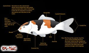 koi anatomy diagram (external)
