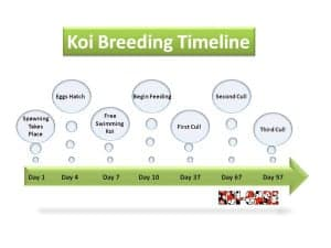 Typical Timeline for Koi Fry