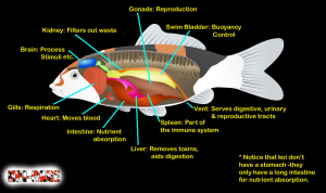 koi internal organs diagram