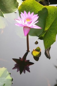 Lotus in koi pond