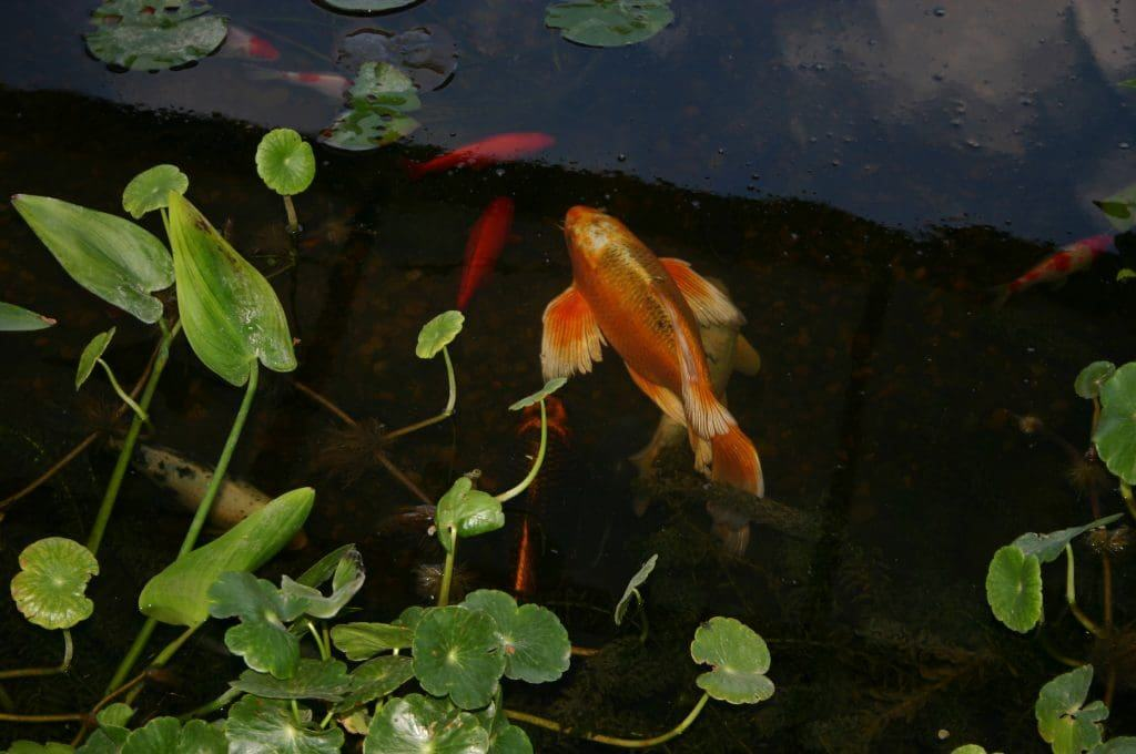 Aquatic plants for your koi pond why they 39 re important for Koi carp fish pond