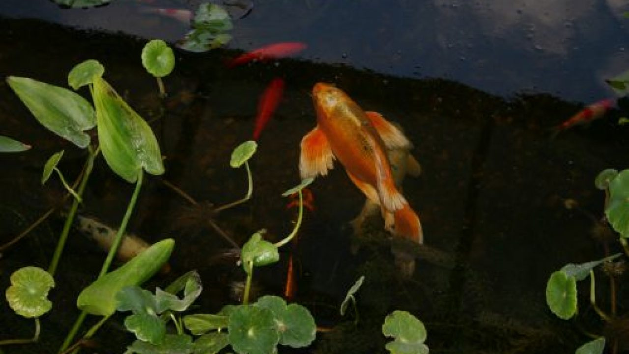 Aquatic Plants for Your Koi Pond: Why They're Important and
