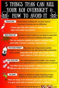 5 Things That Will Kill Your Koi Overnight & How to Avoid It