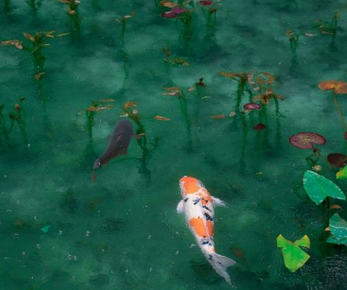 What are the ideal water conditions for healthy koi for Koi goldfish care