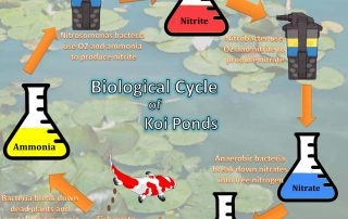 nitrogen cycle of a koi pond