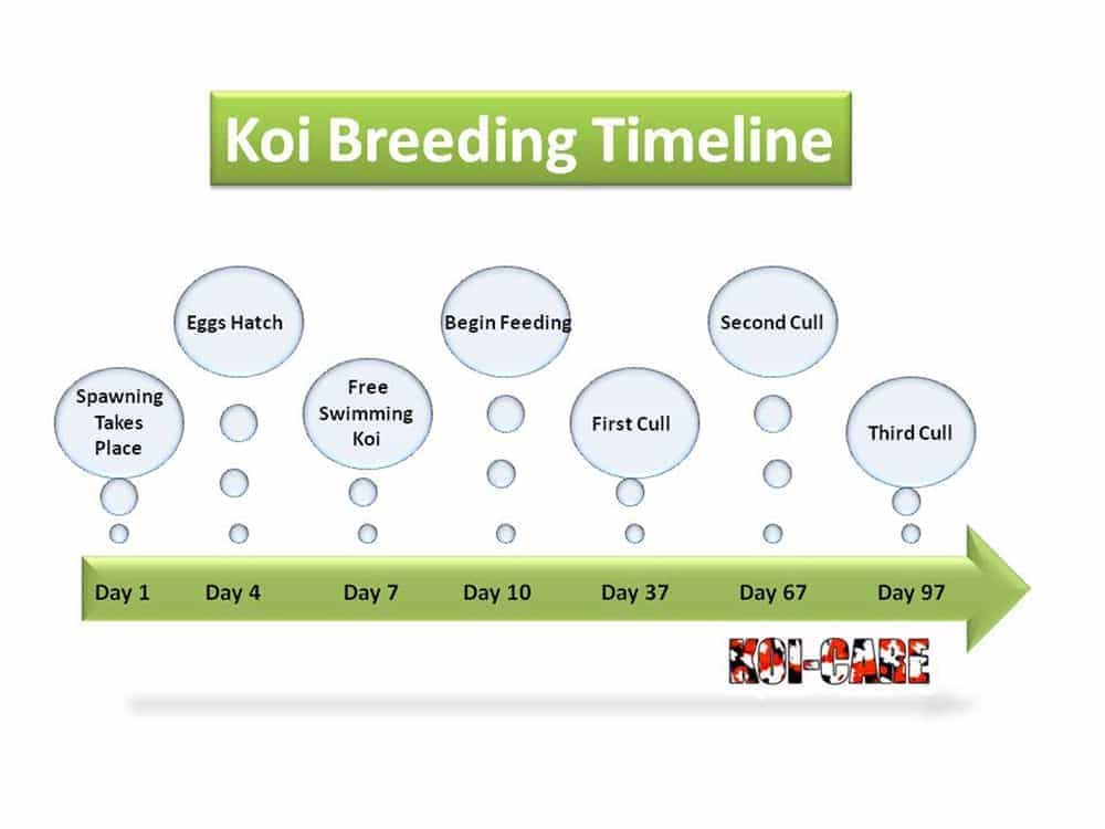 Koi breeding timeline web site for Koi reproduction