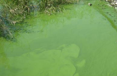 Green Water Algae