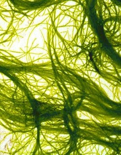 image of string algae in a koi pond