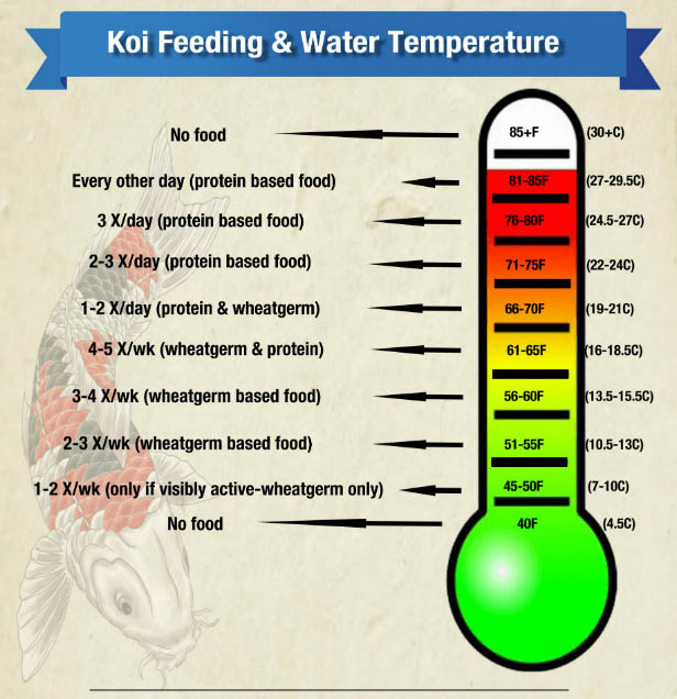 Feeding your koi as water temperatures change for Koi pond temperature