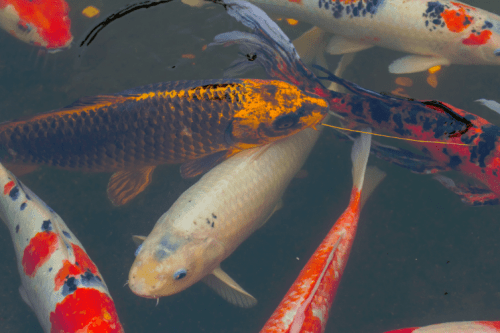 Environmentally damaging koi carp spotted in Lake Gwelup