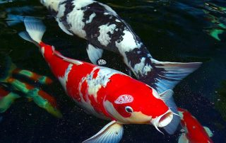 japanese-koi-fish-pond-