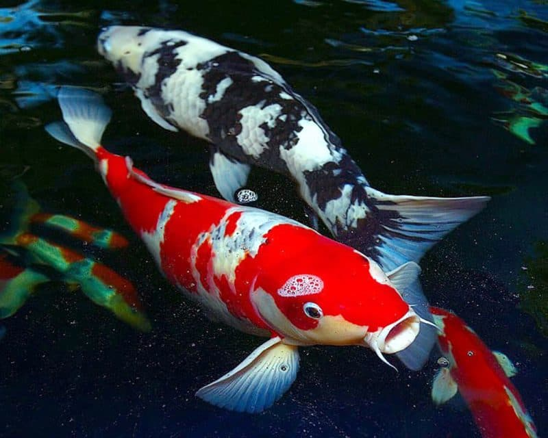 Japanese koi breeder to attend buyers event for Japanese koi fish wholesale