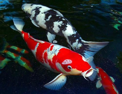 Japanese koi breeder to attend buyers' event
