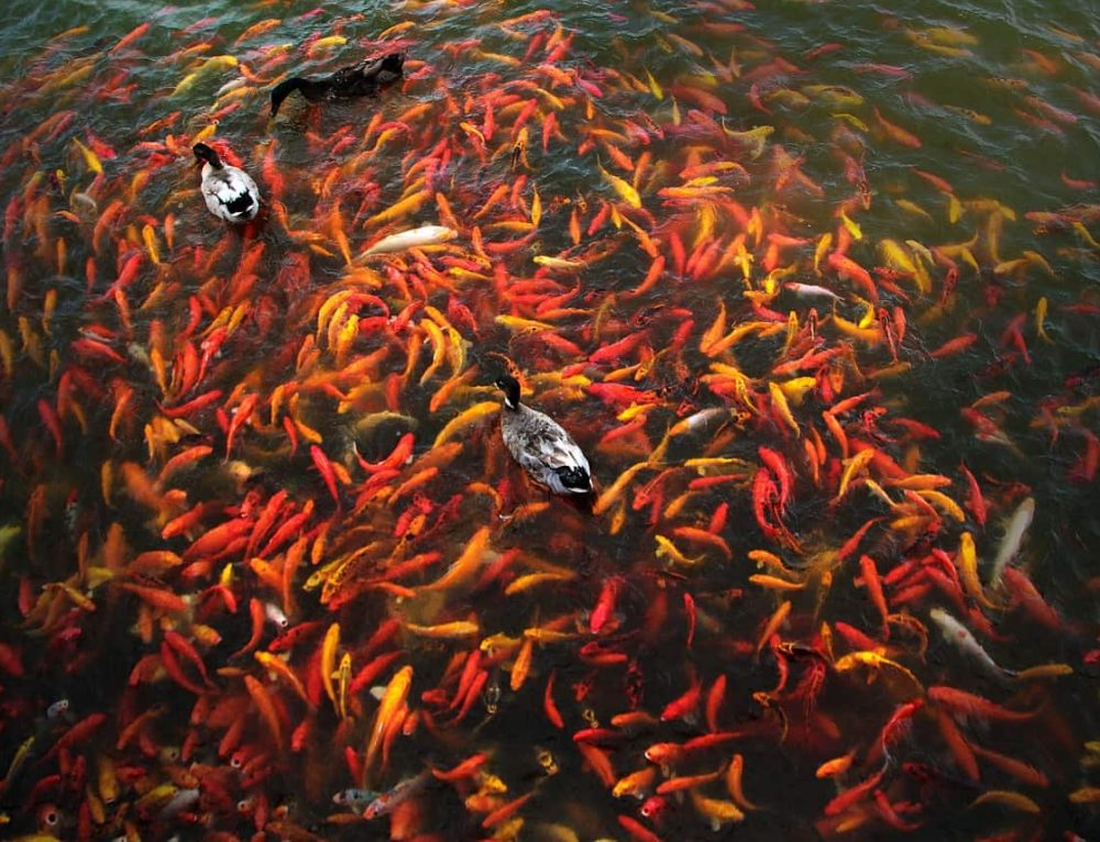 Top 5 most common koi pond problems and their solutions for Koi fish pond care in winter