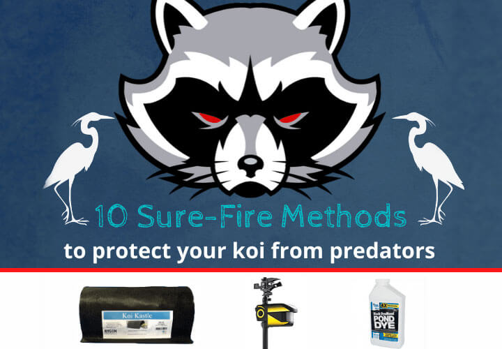 10 Sure-Fire Methods to Protect your Koi from Predators & Pests (2020)